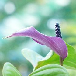 spathiphyllum-100785-1